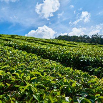 健康と癒しをくれる栄養の宝庫お茶を科学する<茶葉編>